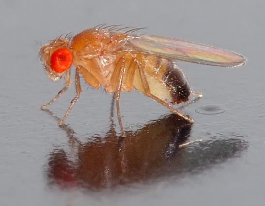 ハエの発生と生態から知る「日常生活におけるハエ」と「研究材料としてのハエ」