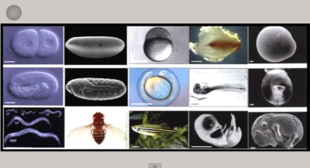 ニワトリ・ハエから知る胚発生の映像作品
